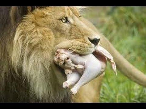 Attack | Tiger Kill Monkey,Tiger Attack Deer Documentary