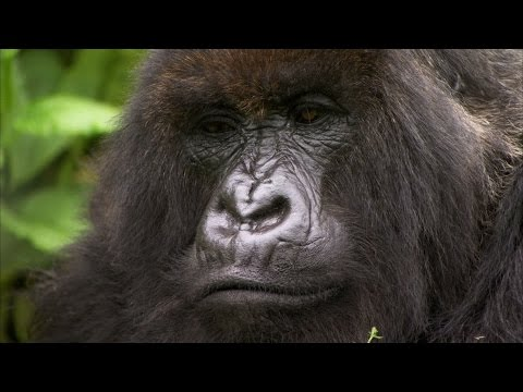 Silverback showing off to the females - Mountain Gorilla - BBC