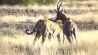 Tiger attacks Deer   Tiger vs  Deer