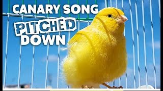 Canary Singing In Slow Motion - Sounds Like A Car Alarm