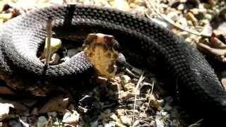 Wild Kansas Pit Vipers