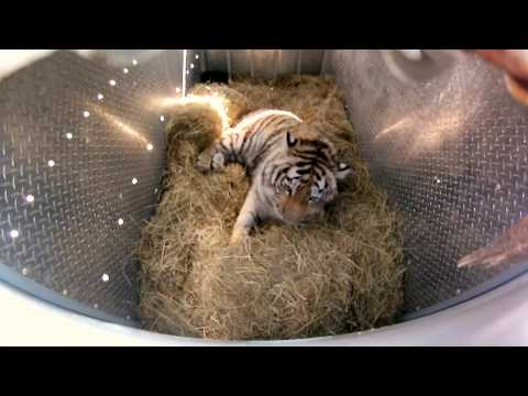 Download Incredibly Rare Siberian Tiger Release - GoPro Video of the ...