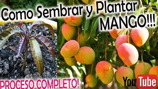 Como SEMBRAR y PLANTAR MANGO Proceso Completo !!