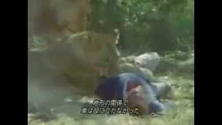 Lions tiger attack and kills a man HD