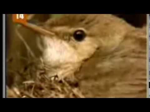 Pássaro Cuco tira proveito dos cuidados do Rouxinol