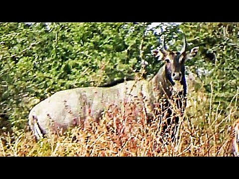 Male Bull Nilgai or Blue horse with Female cow or