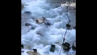 أكثر من 20 قردا بريا يعبرون النهر جماعيا للبحث عن الطعام|CCTV Arabic