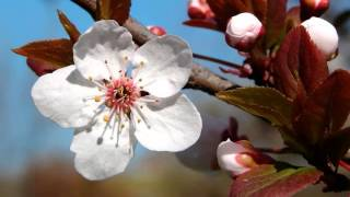 Beautiful Chinese Flowers Music - The Plum Blossom Melody
