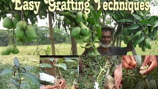 Easy Techniques to Mango Grafting 2017