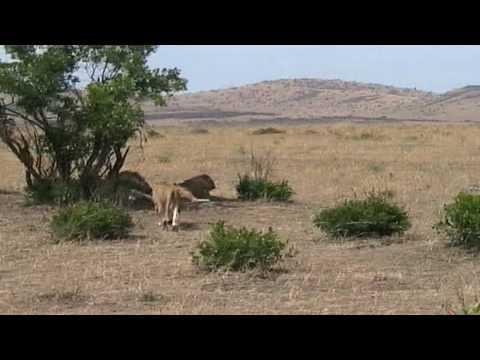 Lion fight Masai Mara 15 09 2009