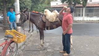 Gilmar pipoca passa por baixo e entre as pernas da mula que ele domou...