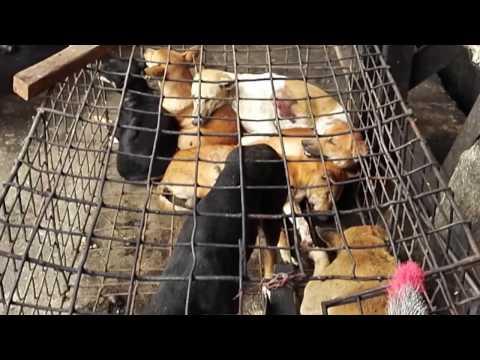 04-10-2016 - Tomohon Market Indonesia.  The dog market