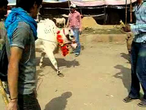 Cow Mandi Karachi 2010