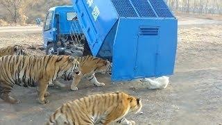 عالم الحيوان | مقاطع صادمة ومشوقة تكشف كيف يتم اطعام الاسود والنمور فى حدائق الحيوان امام الناس +18