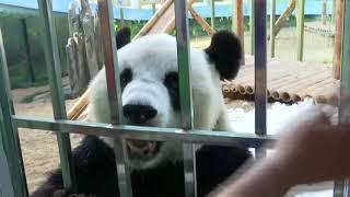 Giant panda Jin Hu enjoys talking with people
