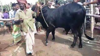 Cow market price / Qurbanir bishal hat - August 2018 / BD Life Trailer