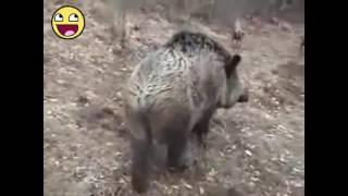 Raja babi yg sakti