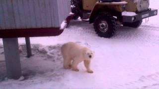 скормил собаку белому медведю видео