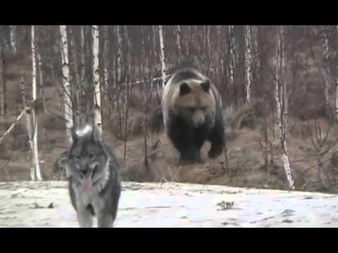 Hungry Bear VS Dog