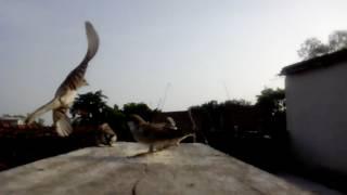 Gauraiya bird in india