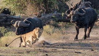 WATCH LION vs BUFFALO REAL FIGHTS   BUFFALO ATTACK LION