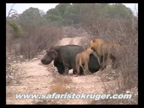 Kruger Lions Kill Hippo not for sensitive viewers