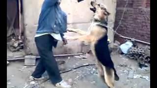 كلب بلدي مدرب