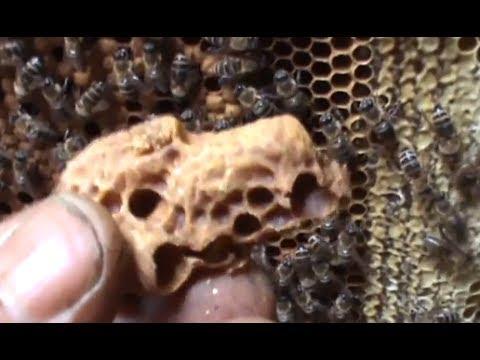 Poate fi provocat schimbul linistit de matca Dialogul dintre regina si albine Apicultura