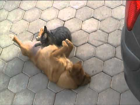 cat suckling on dog