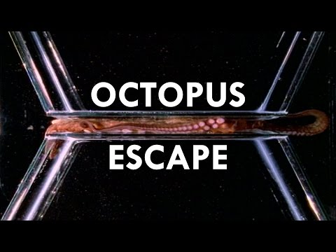 Octopuses are the World's Greatest Escape Artists Ft. PhilosophyTube