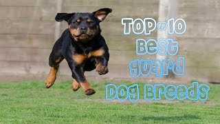 TOP10 best guard dog breeds protect your family