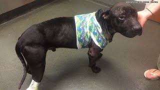 Pit bulls rescued from dog fighting ring - WARNING GRAPHIC