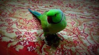 parrot talking popat
