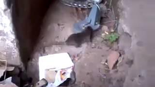 هندي يصيد فار