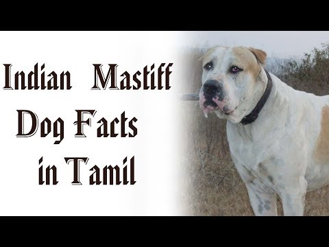 Xxx Mp4 Alangu Or Indian Mastiff Dog Facts In Tamil Namma Naattu Naaigal Best Dog Tamizhar Dharavi 3gp Sex