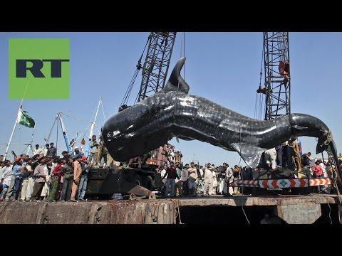 Pesca sorpresa en Pakistán hallan muerto un tiburón ballena de 12 metros
