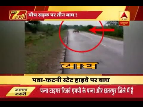 Xxx Mp4 Madhya Pradesh When Two Tigers Came In The Middle Of Panna Katni Highway 3gp Sex