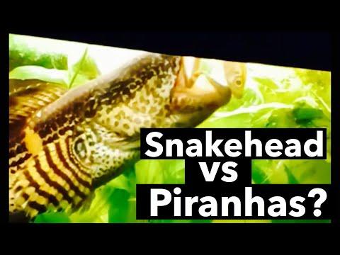 Xxx Mp4 Snakehead Vs Piranhas Aquarium Snakehead Debate 3gp Sex
