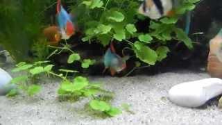 Aquarium ... two males ferocious !!!  Barbus Tetrazona