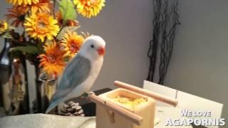 Beautiful Blue And White Fischer Lovebird