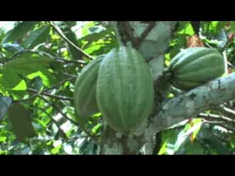 IDIAF. Cacao.Innovaciones tecnológicas para el cultivo de cacao.mp4