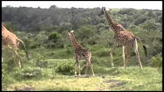 Giraffes in Their Natural Environment