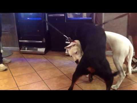 DOGO VS ROTTWEILER