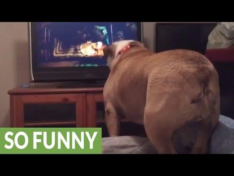 English Bulldog warns girl on TV during horror movie