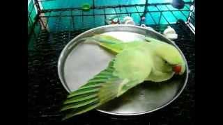 Splish Splash Mitthu Is Takhin A Bath....
