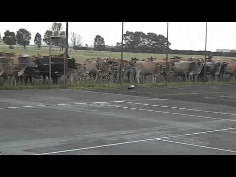 Cows love Remote Control Cars