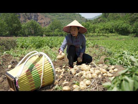 在农村新鲜土豆(马铃薯),我们做成洋芋干,可以保存一年365天� 不会坏Several practices of potato Chinese food 美食 家常菜 野小妹wild girl