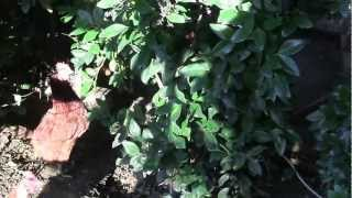 Organic Farm at home, Hollywood Hills, Delicious Eggs, Natural, No Junk, No Steroids