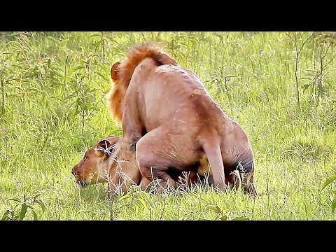 Wild Lions Mating in Africa! Video