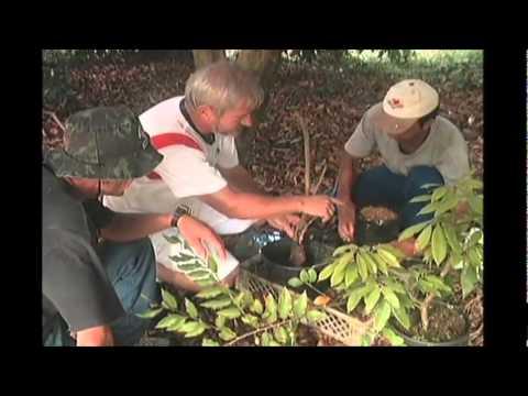 ALPORQUIA ENXERTIA PRODUÇÃO DE FRUTAS EM VASOS. crie novas plantas através de galhos
